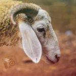 Etat d'ihram Mouton
